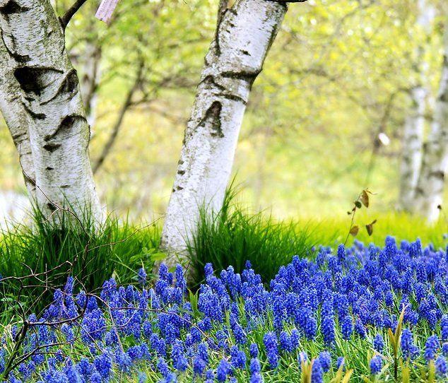 На каких дачных участках стоит посадить лесную березу ...
