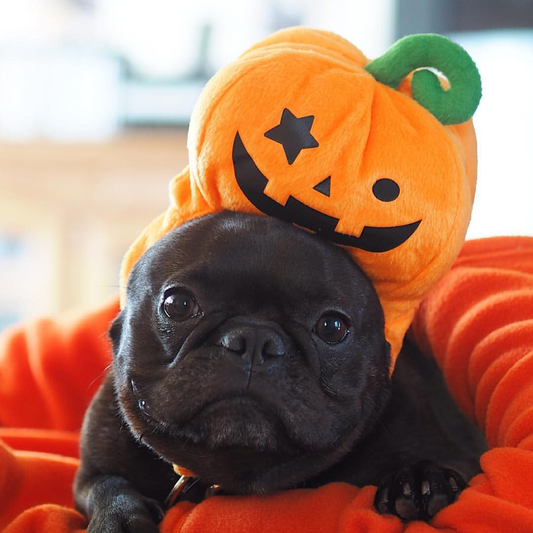 French Bulldog In A Punkin Costume Dog Has Diarrhea Cute