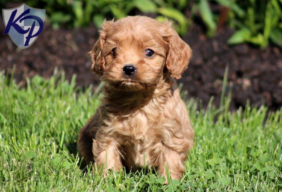 Cavapoo Puppies For Sale Bing Images Cavapoo Puppies Puppies Cavapoo Puppies For Sale