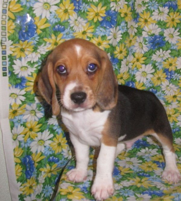 Beagle Puppies For Sale In Kansas Zoe Fans Blog Beagle Puppy