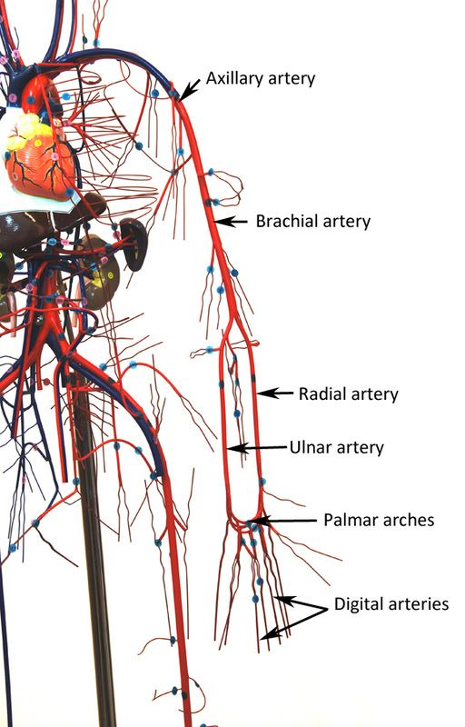 Vascular Wire Model Human Anatomy Web Site Bio 16 Unit 3