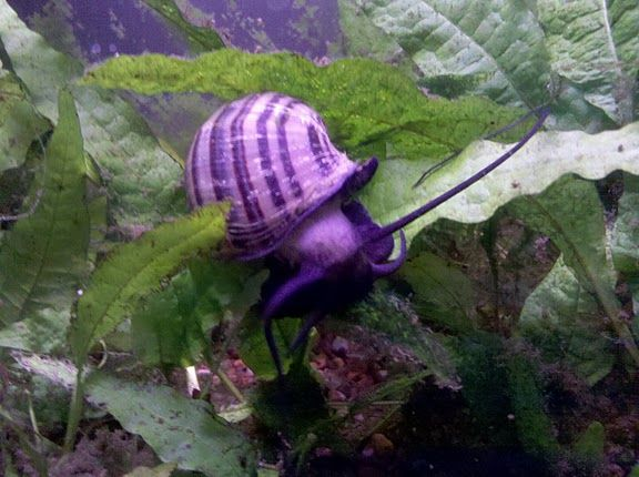 Purple apple snail really pretty i wanna get one for my for Purple freshwater fish