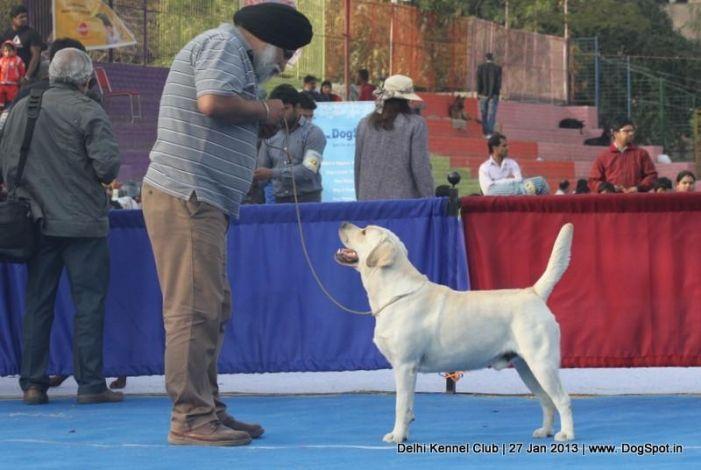 Active Labrador Stacking In Dog Show Dogs Dog Show Labrador