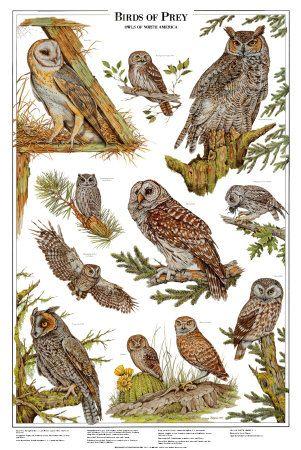 Risultato della ricerca immagini di Google per http://cache2.artprintimages.com/p/LRG/8/850/KFTY000Z/art-print/owls-a-birds-of-prey.jpg