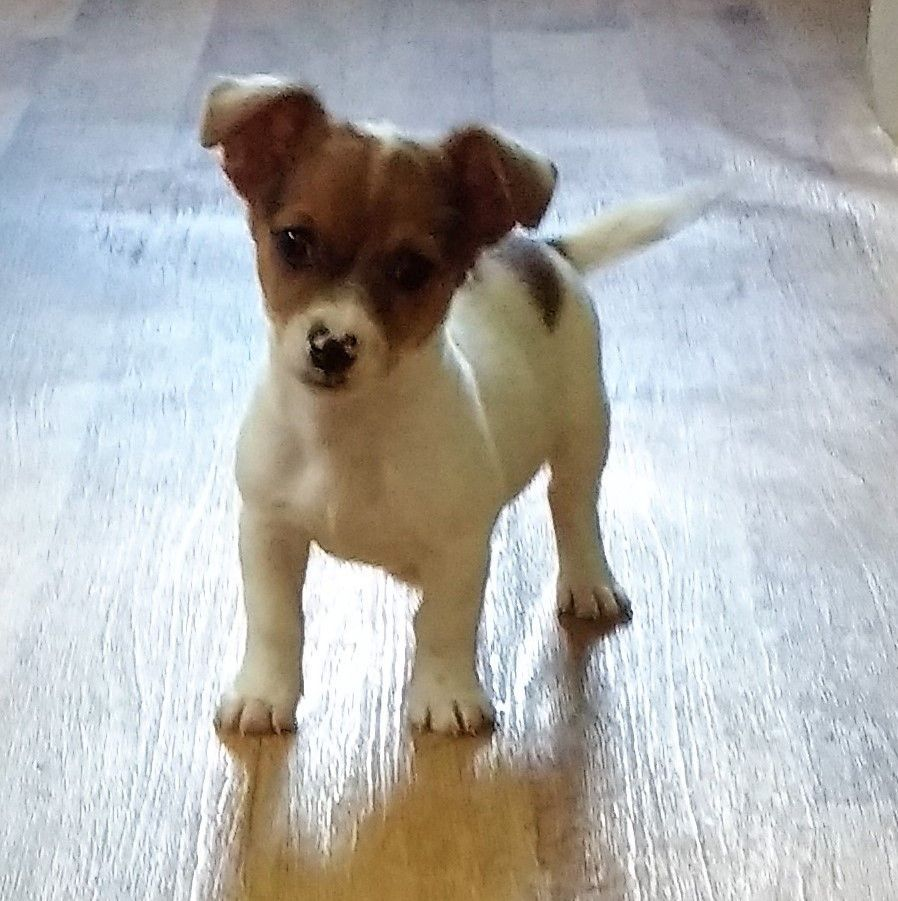 Jack Russell And Chihuahua Mixed Dogs Breeds And Mini Mix Chihuahua Jack Russel Zwergpinscher Leila Dog For In 2020 Chihuahua Mix Puppies Chihuahua Mix Jack Russell