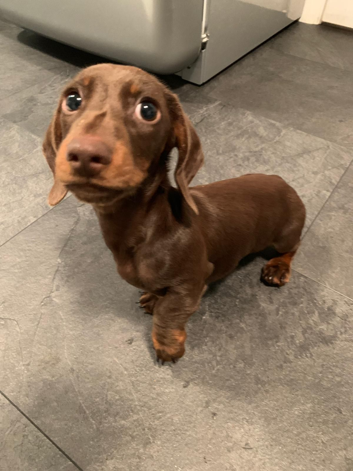Pin By Bonnie Hutchison On Dogs Dachshund Puppies Cute Animals