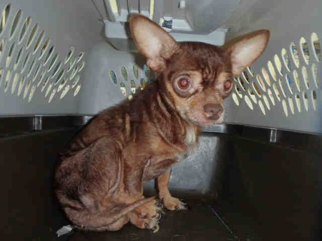 Pensacola Fl Dehydrated And Or Malnourished Male Chihuahua Now