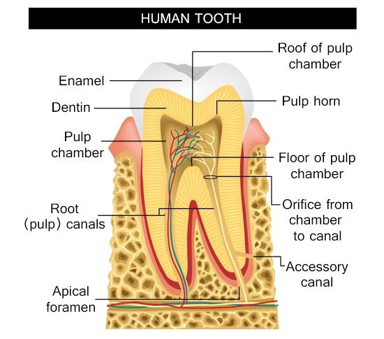Information about the human tooth anatomy with labeled diagrams information about the human tooth anatomy with labeled diagrams ccuart Gallery