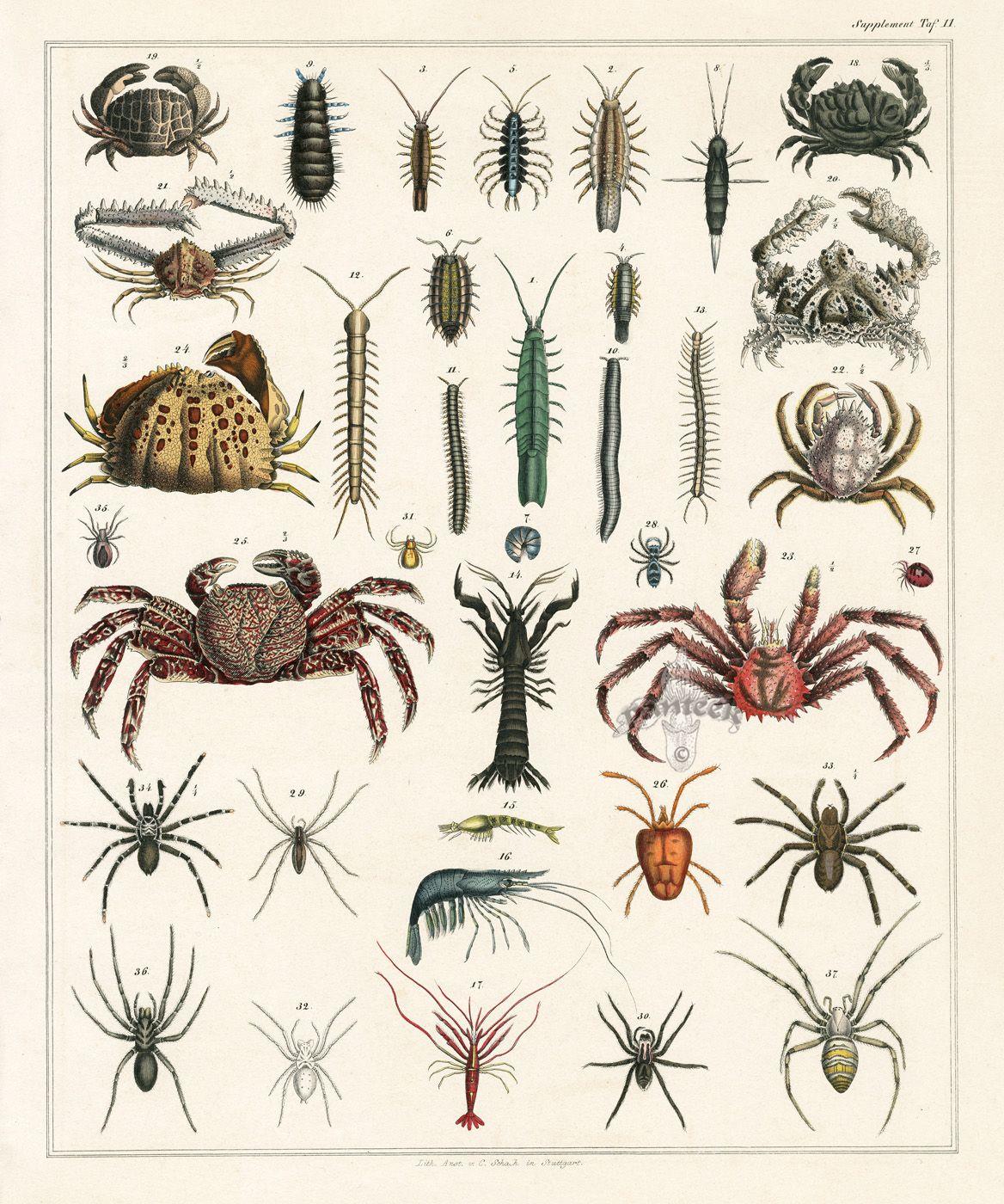 Crabs from Lorenz Oken Abbildungen Naturgeschichte für alle Stände Prints 1843