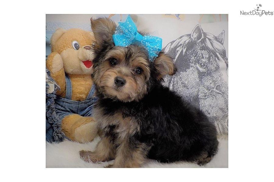 Yorkiepoo Yorkie Poo puppy for sale near Southeast