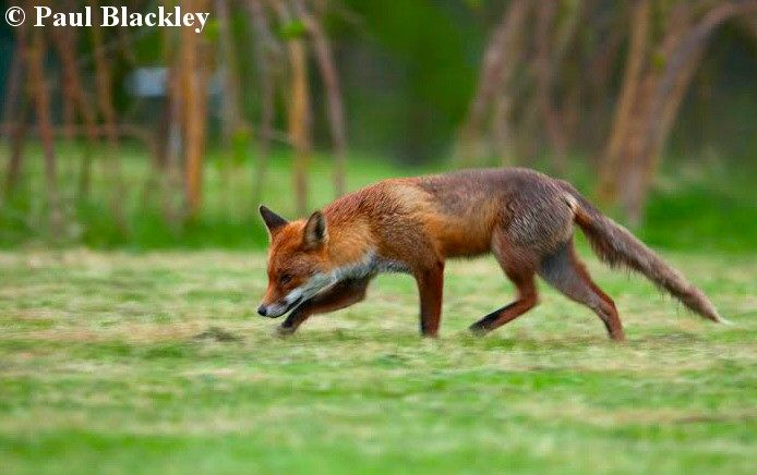 Wildlife Online Natural History Of The Red Fox