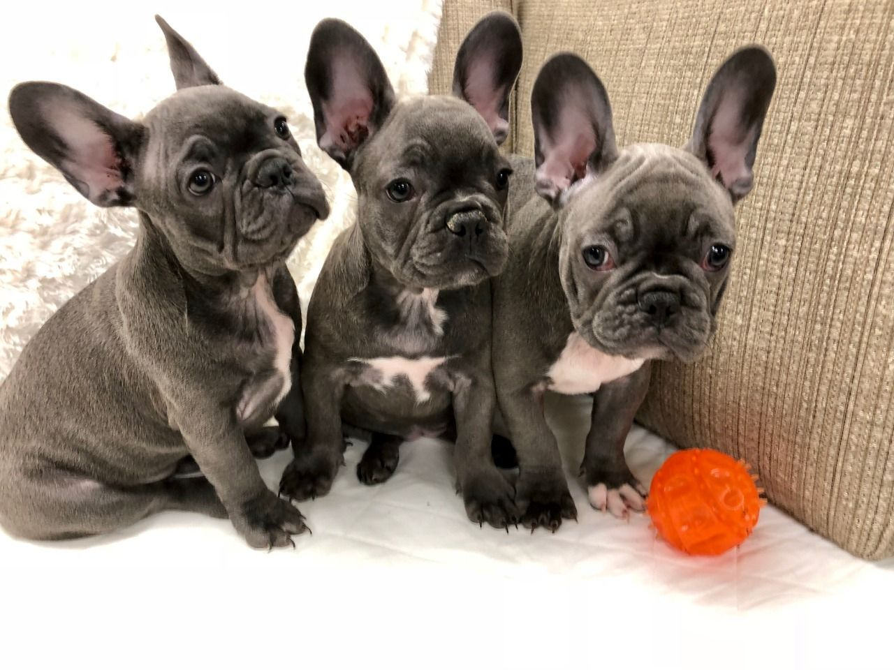 Are You Probing For The Best And Renowned French Bulldog Breeders