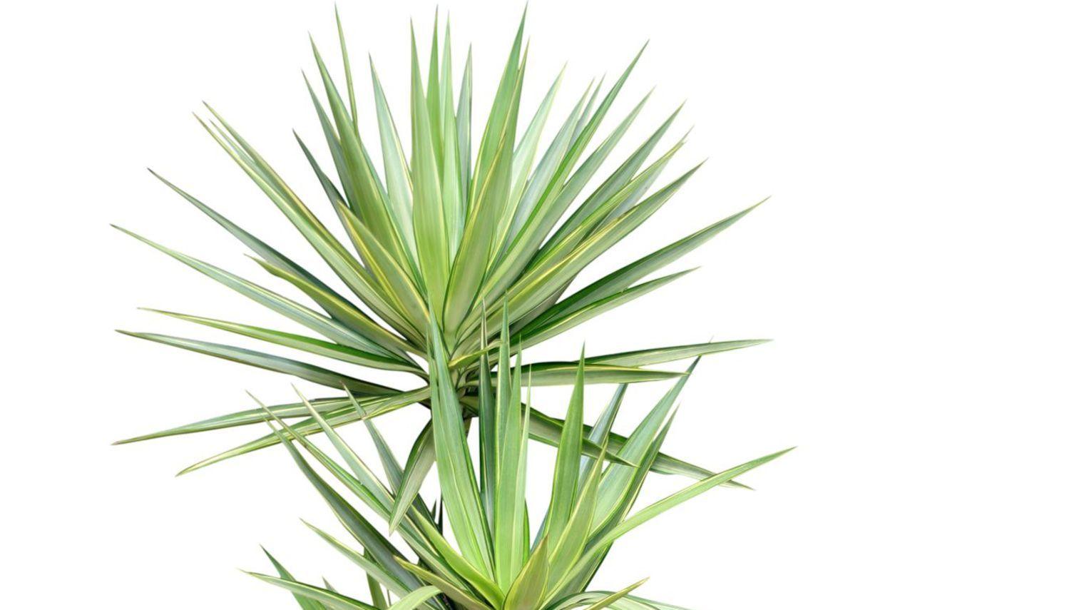yucca : plantation, entretien   plantes   pinterest   les plantes