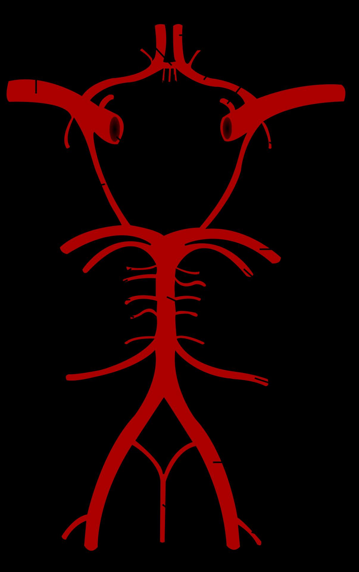 Polygone de Willis — Wikipédia   Anatomie médicale, Anatomie du ...