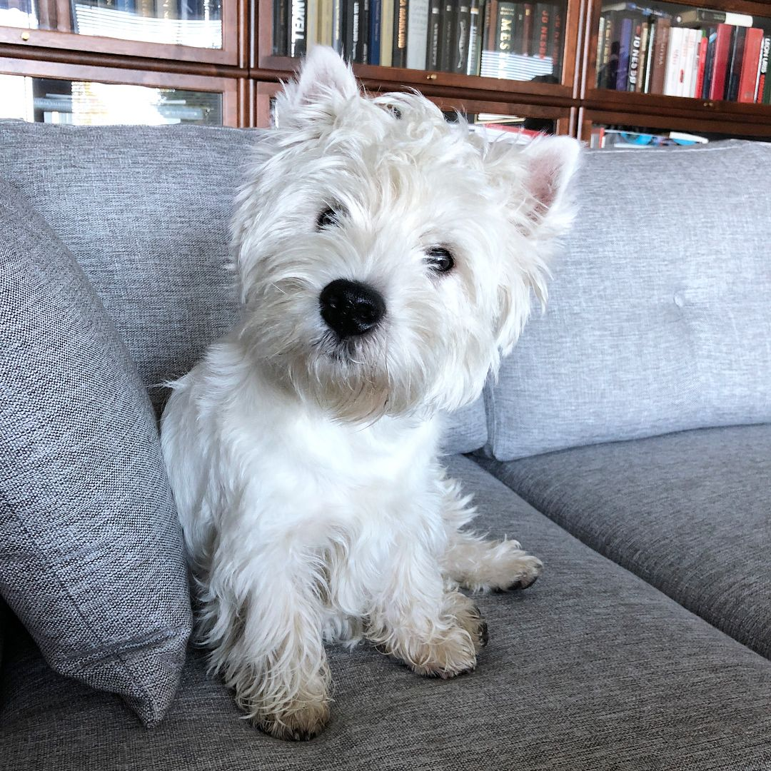 What Do You Mean Summer Holiday Is Over Holidayover Westie Westy Westielife Westielove Westiegr Westie Dogs Westie Puppies Dogs And Puppies