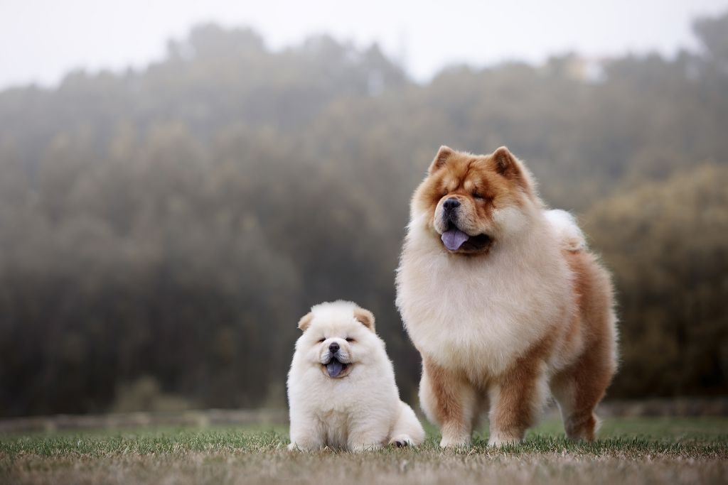 Chow Chow Dog Breed Facts Information Animals Cuteanimals