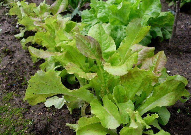 Pflucksalat Pflanzen Tipps Zum Anbau Und Zu Den Sorten Pflanzen Salat Pflanzen Gemusegarten Anlegen