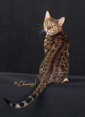 Spotted Bengal Cat Gatitos Lindos Gatos Kawaii Gatos