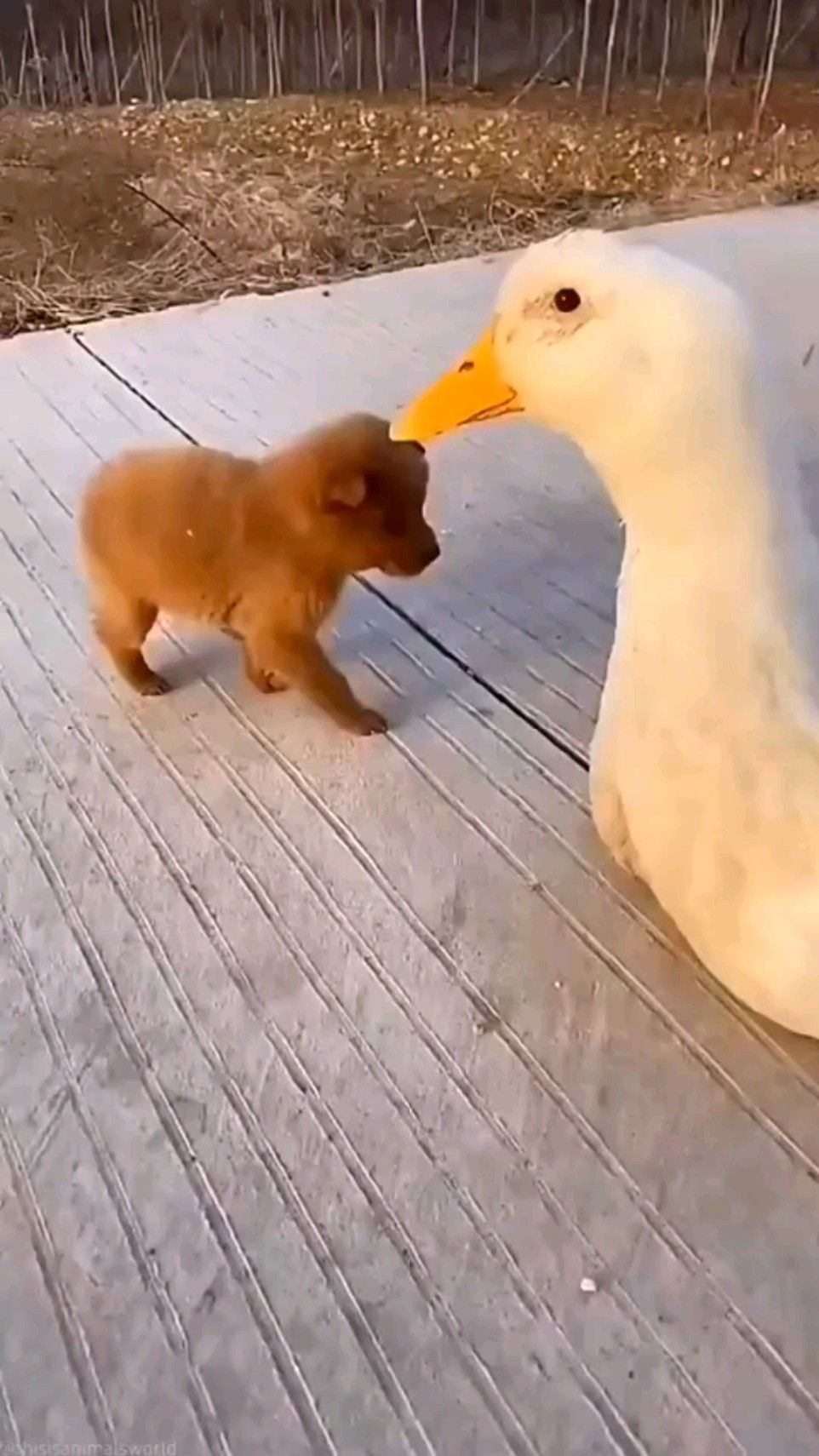 Puppy and Duck Friends Love