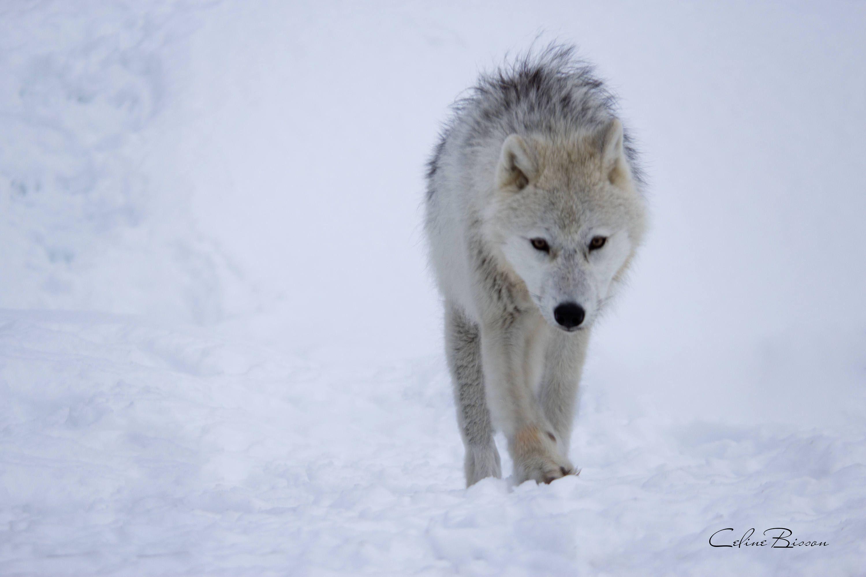 Loup Blanc Marchant Dans La Neige De La Boutique Celinebisson Sur