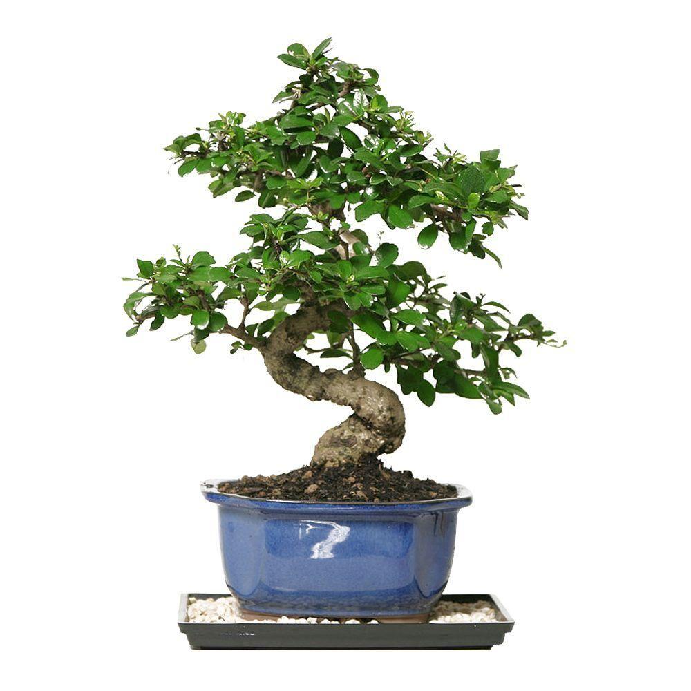 Brussel S Bonsai Fukien Tea Bonsai Ct 0116ft The Home Depot Indoor Bonsai Tree Indoor Bonsai Bonsai Trees For Sale