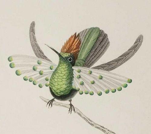 Oiseau mouche de gould adulte 1832 nhd ornithology hummingbird birds hummingbird art - Oiseau mouche dessin ...