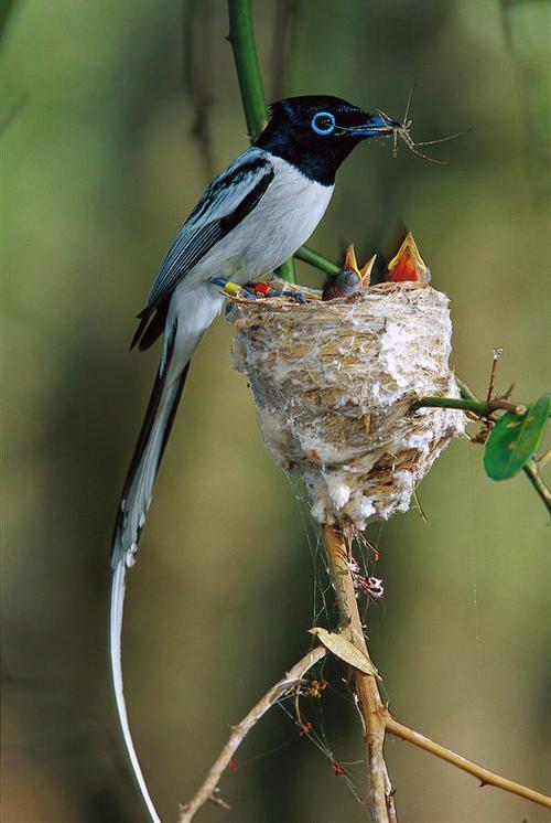 Madagascar Paradise Flycatcher ~ By Cyril Ruoso; Bird's Nest