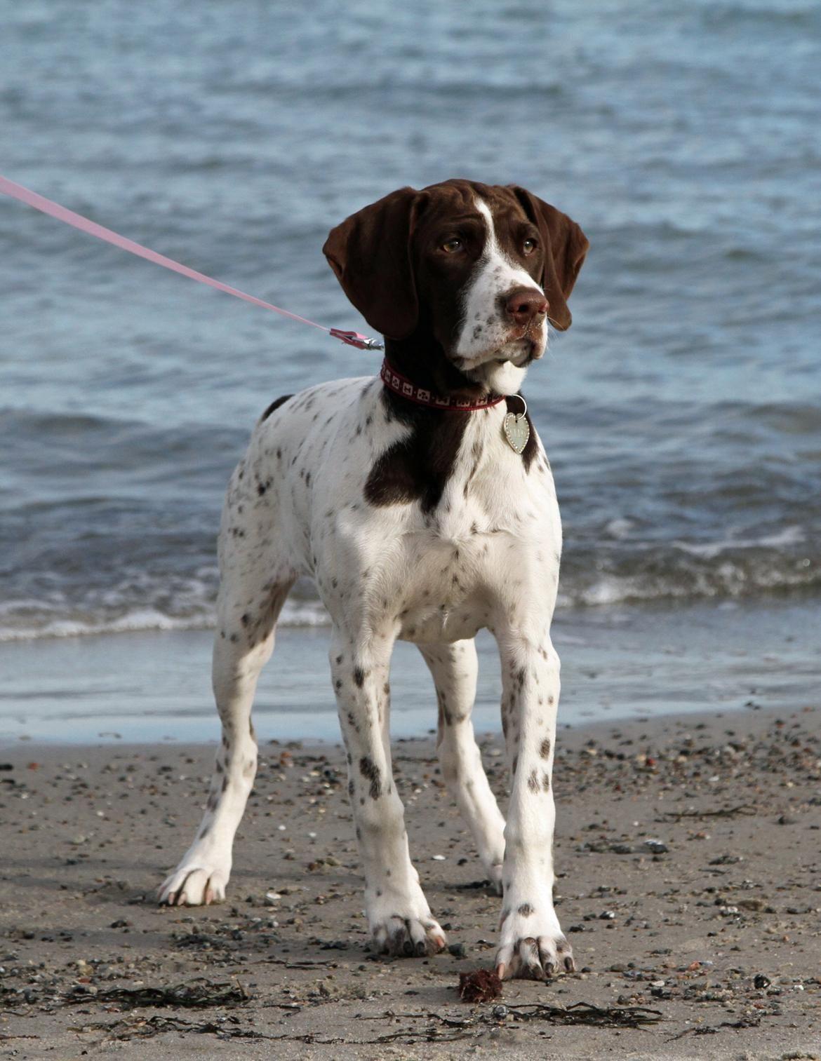 Danish Hunting Dog Breeds