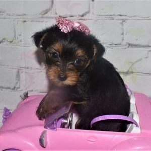 The Many Things I Admire About The Brave Yorkshire Terrier Puppy