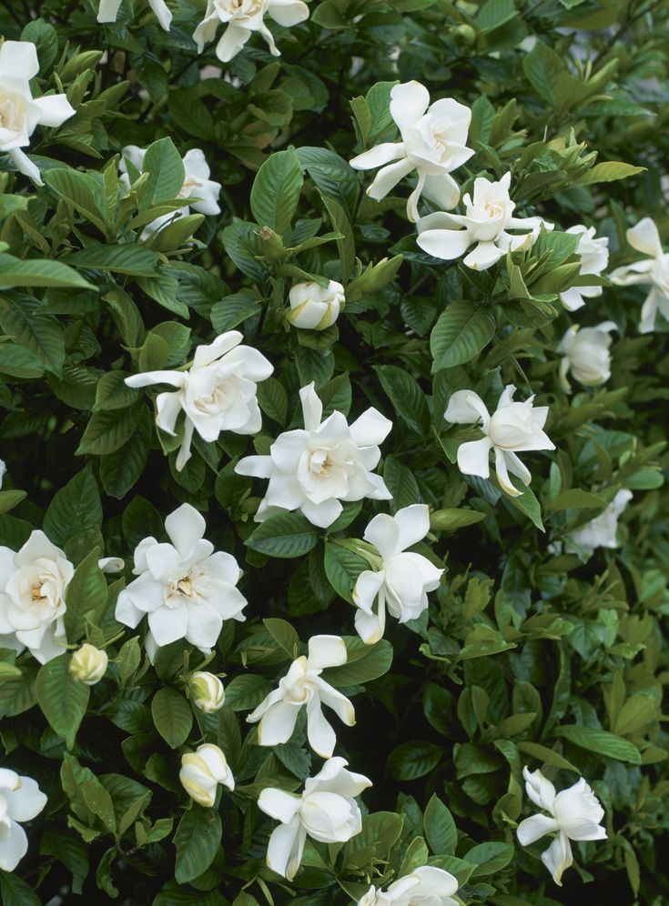 Shrubs That Thrive In Part Shade To Full Shade With Images