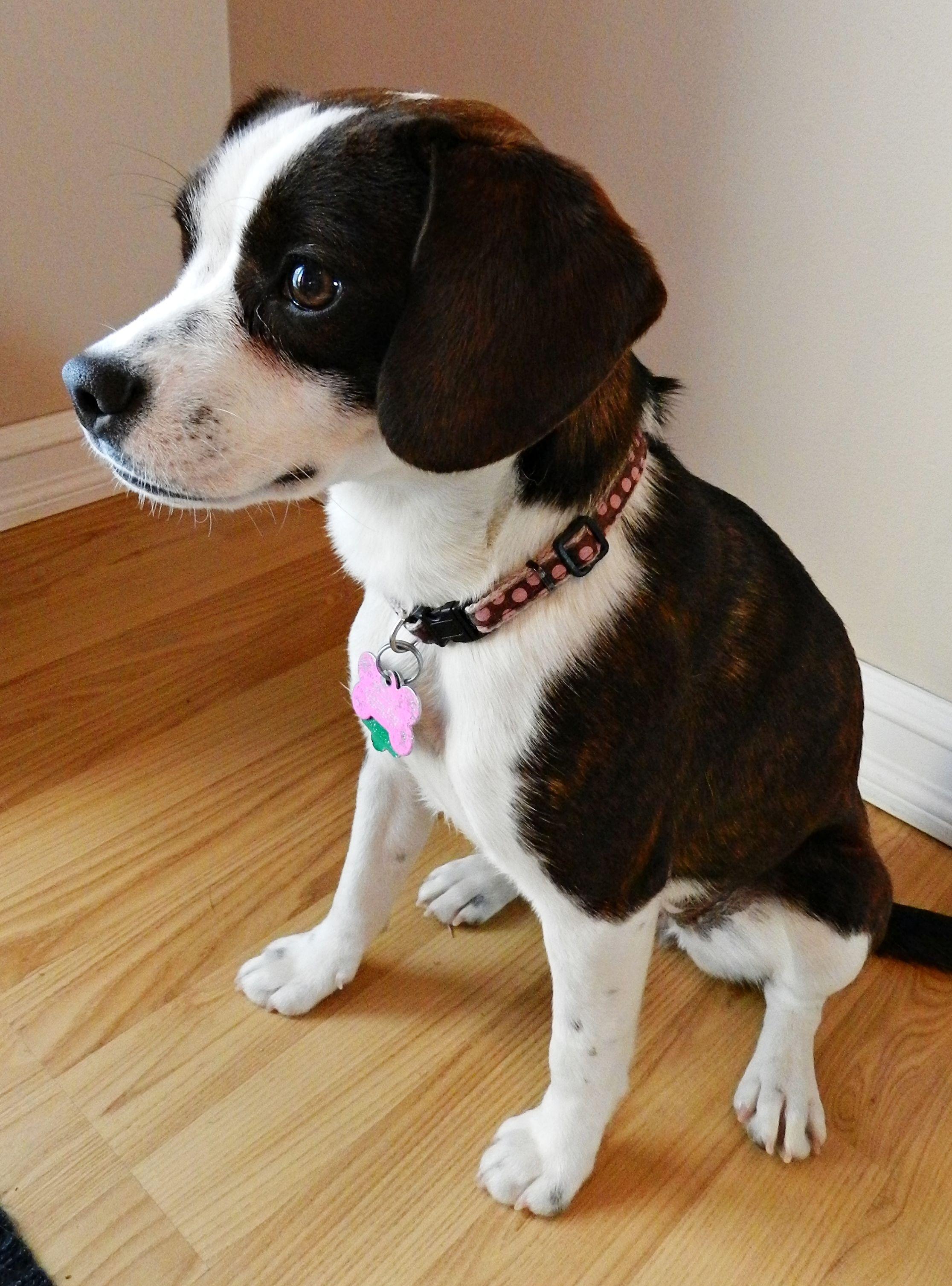 "So pretty! Boston Terrier / Beagle (""Boglen terrier"") Love"