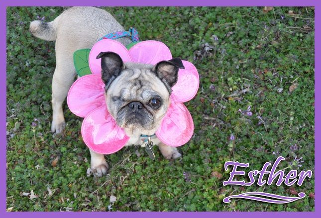 Esther Pug Rescue Pugs French Bulldog