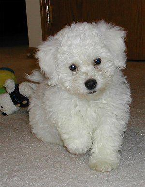 Image From Http Www Dogbreedinfo Com Images10 Bichpoocasponstepcute22 Jpg Poochon Puppies Bichon Frise Puppy Puppies
