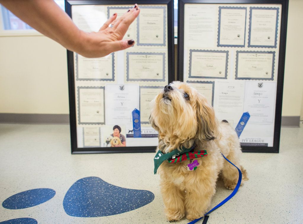Owners Are Increasingly Interested In Their Pets Intelligence Giving Researchers Eager Recruits In The Relatively New Field Of Canine Cogn Dogs Raining Cats Dogs Therapy Dogs