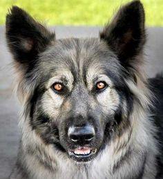 Great Pyrenees German Shepherd Mix American Alsatian Dog Breeds