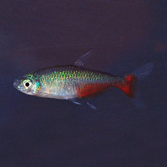 Tropical Fish For Freshwater Aquariums Green Fire Tetra In 2020 Aquarium Fish Green Fire Tropical Fish