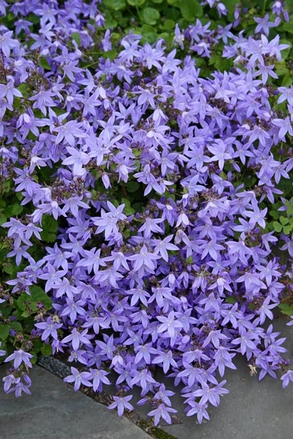 Campanula Poscharskyana Camgood Pp 13161 Blue Flowering Plants Flower Garden Plans Flowers Perennials