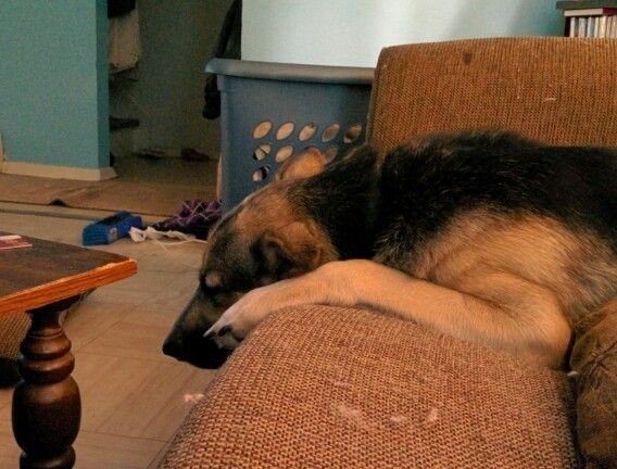 Let Sleeping Dogs Lie Sleeping Dogs Dogs Animals