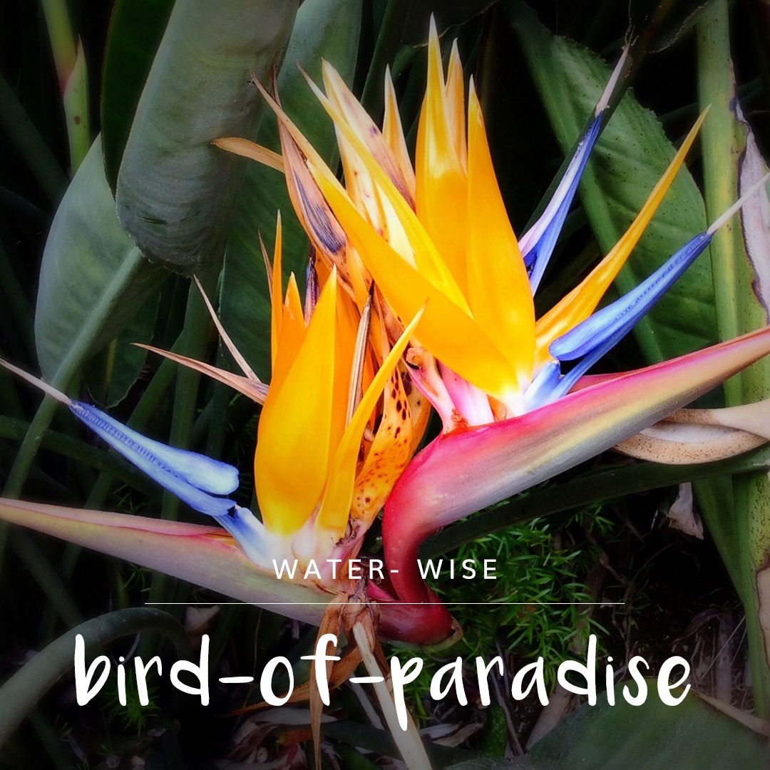 Boasting Beautiful Orange And Blue Crane Like Flowers Birds Of Paradise Are A Great Focal Point For Any Garden While T Garden Center Birds Of Paradise Garden