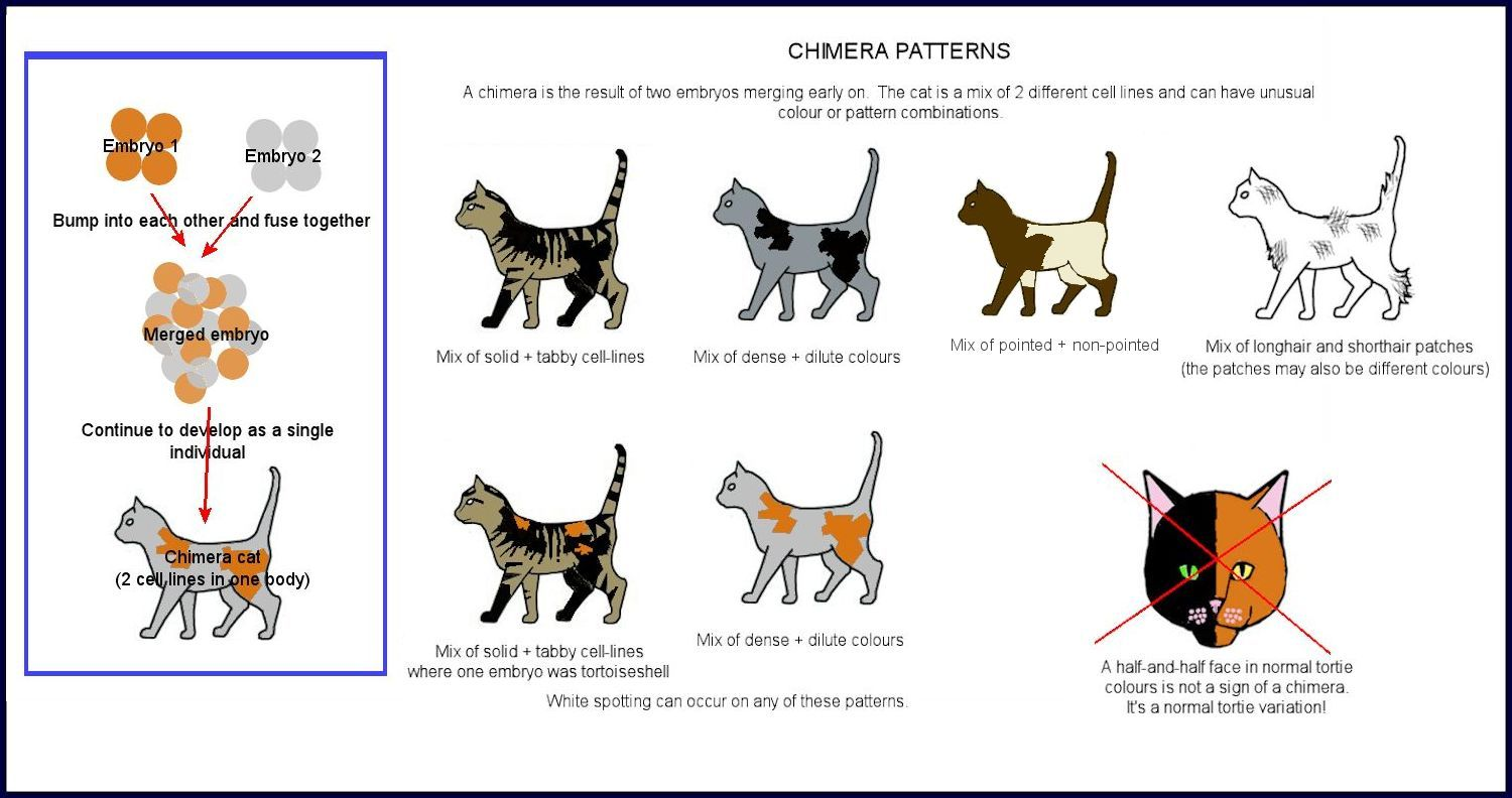 Cat Chimeras Male And Female Cat Colors Cat Breeds Chart Cat Facts Text