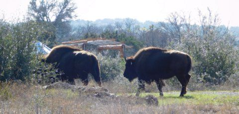 Roaming bison at Cypress Valley Canopy Tours & Roaming bison at Cypress Valley Canopy Tours | Lake Travis Area ...