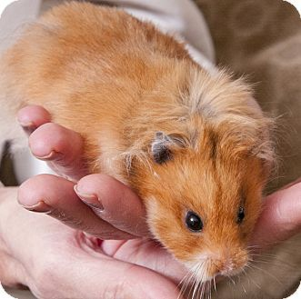 Adopted Chicago Il Hamster Meet Sylvette A Pet For