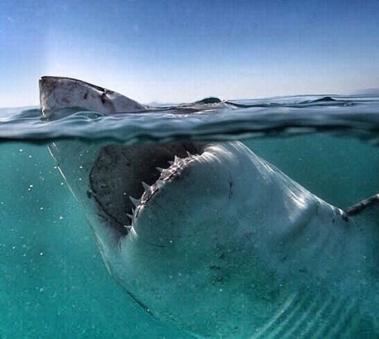 Pin by Courtney Patterson on GREAT WHITE SHARK THREE ...