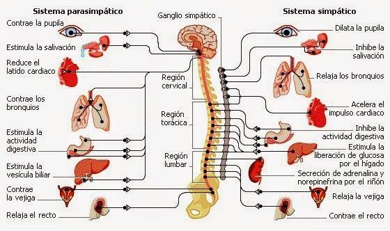 Equilibrar El Sistema Nervioso Alterado Destacado By Sailor Autonomic Nervous System Parasympathetic Parasympathetic Nervous System