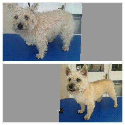 Cairn Terrier Before And After Groom Cairn Terrier