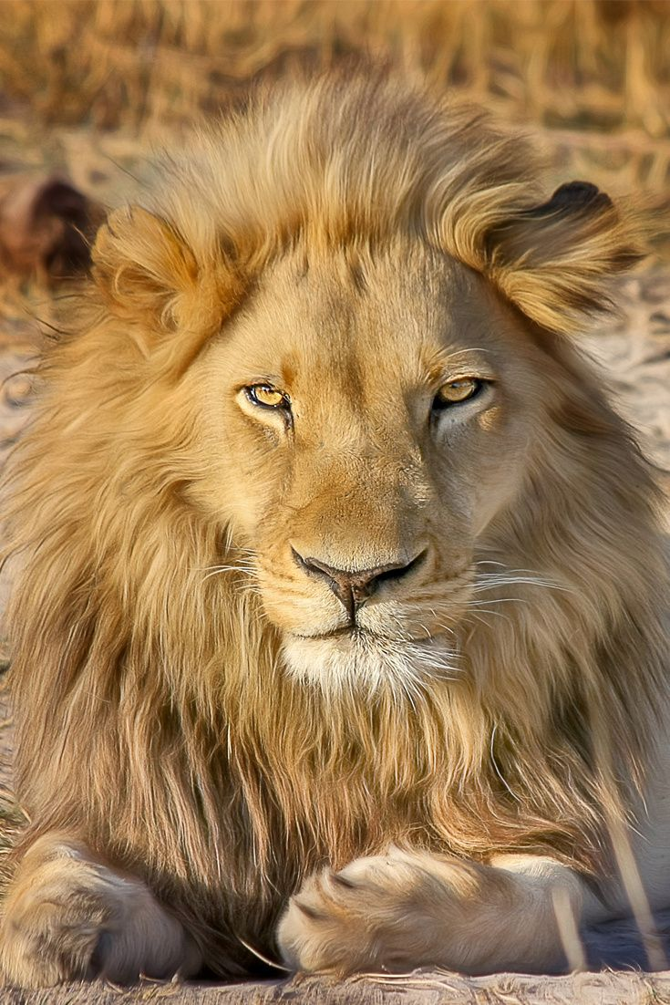 An amazing lion is lying #lion #wildcat #TheWorldIsGreat
