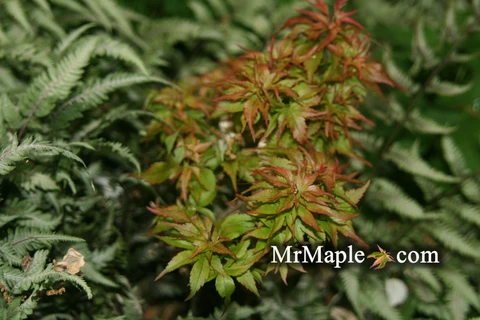 Acer palmatum 'Tsukumo' Miniature Japanese Maple