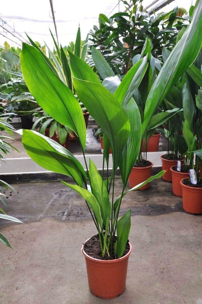 Schusterpalme Metzgerpalme Pflanzen Zimmerpflanzen Ideen Zimmerpflanzen
