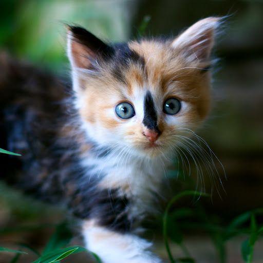 cute calico kitten pic   Cat Stuff   Pinterest   Cat ...   512 x 512 jpeg 29kB