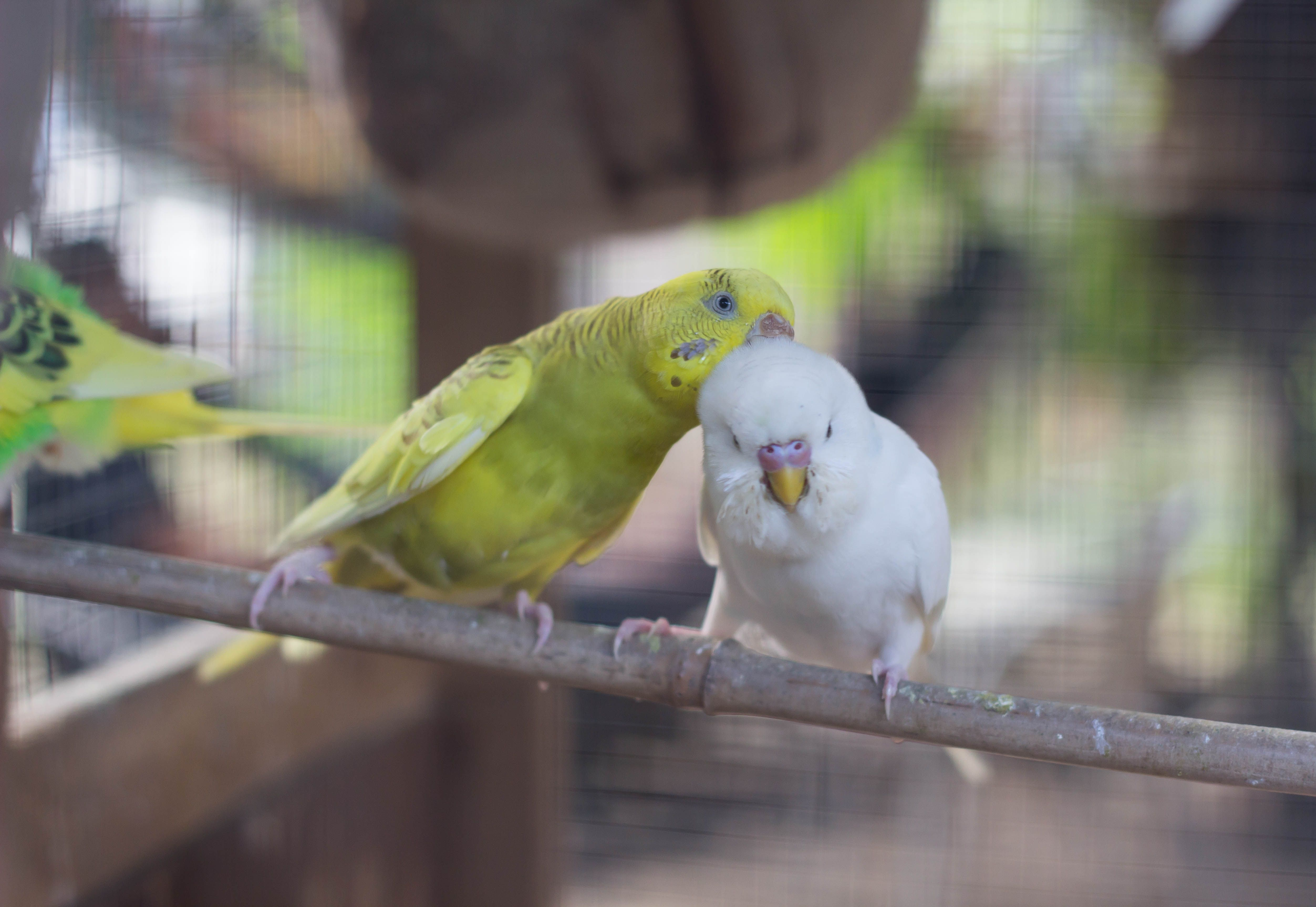 Kiss Me Like You Ll Never Kiss Before Says The Bird Lovebirds Birds For Sale Love Birds Birds